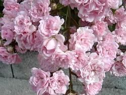 Närbild på rosorna