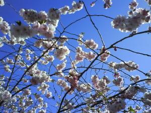 Japanska körsbärsträden blommar