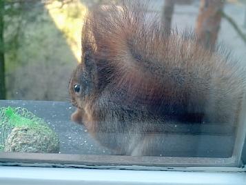 Ekorren sitter på fönsterbrädan.