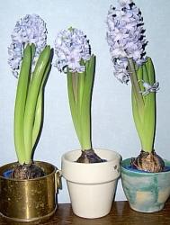 Fina hyacinter.