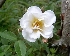 Årets första blomma på Lykkefund.