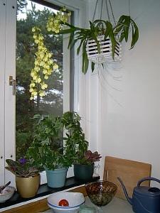 orkideen blommar