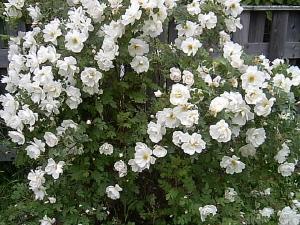 Finlands vita ros i överdådig blomning.