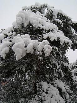 snö i tallen