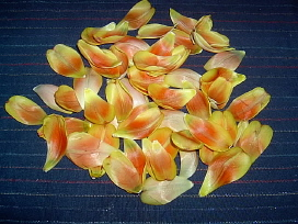 tulpanblad